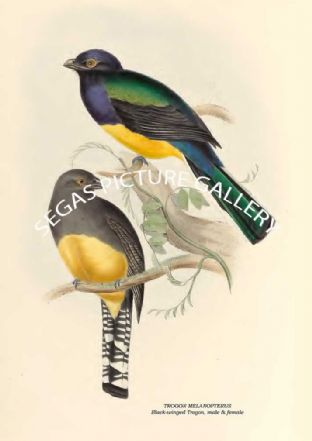 TROGON MELANOPTERUS - Black-winged Trogon, male & female